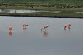 Ongerijmd: Flamingo's bij de Willem-Alexanderbaan